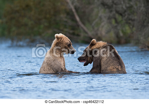 Two Alaskan brown bears playing - csp46422112