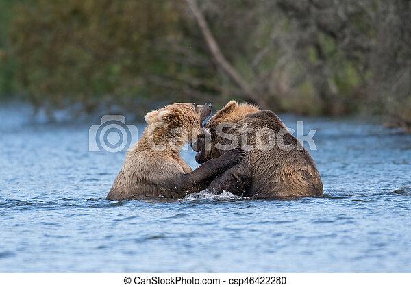 Two Alaskan brown bears playing - csp46422280