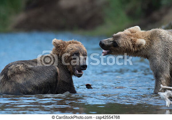 Two Alaskan brown bears playing - csp42554768