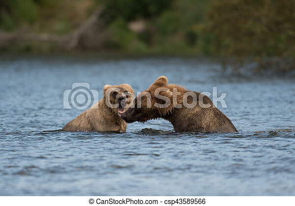 Two Alaskan brown bears playing - csp43589566