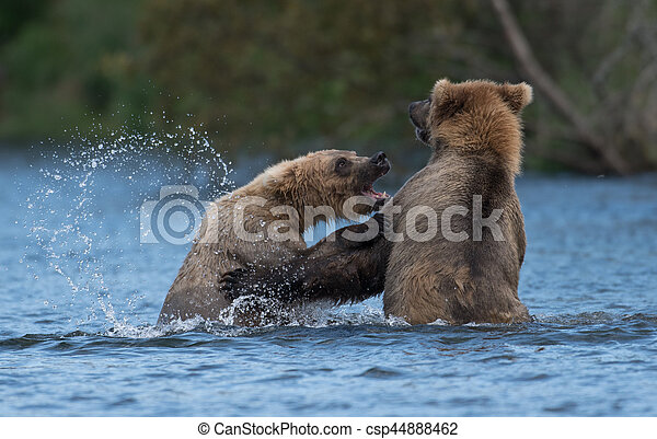 Two Alaskan brown bears playing - csp44888462