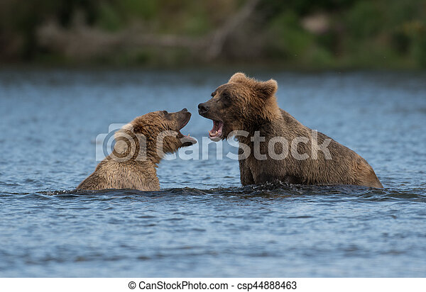 Two Alaskan brown bears playing - csp44888463