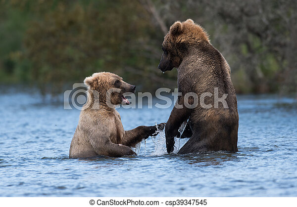Two Alaskan brown bears playing - csp39347545