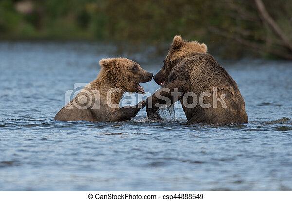 Two Alaskan brown bears playing - csp44888549