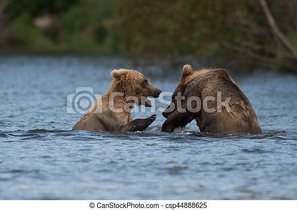 Two Alaskan brown bears playing - csp44888625