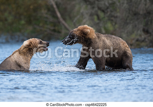 Two Alaskan brown bears playing - csp46422225