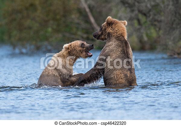 Two Alaskan brown bears playing - csp46422320