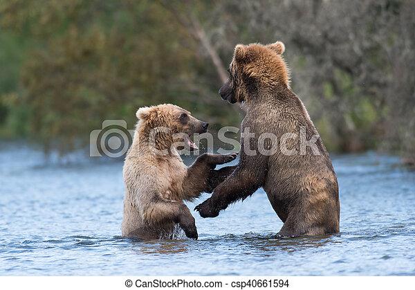 Two Alaskan brown bears playing - csp40661594