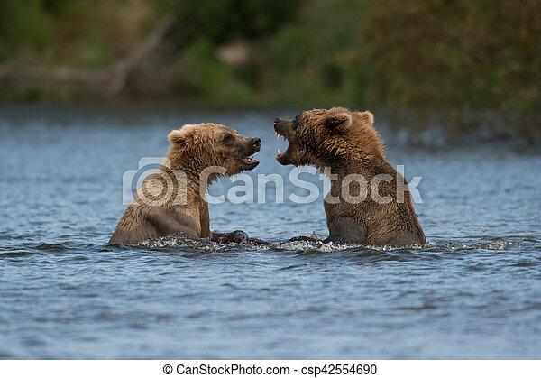 Two Alaskan brown bears playing - csp42554690