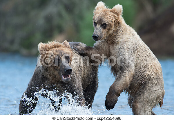 Two Alaskan brown bears playing - csp42554696