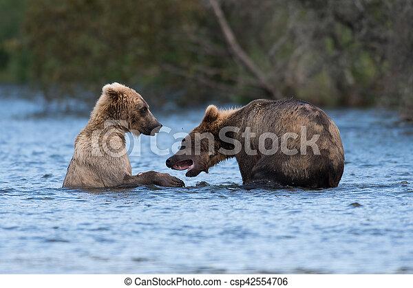 Two Alaskan brown bears playing - csp42554706