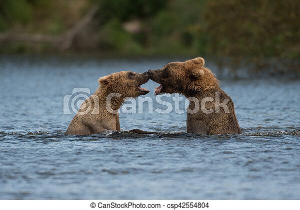 Two Alaskan brown bears playing - csp42554804