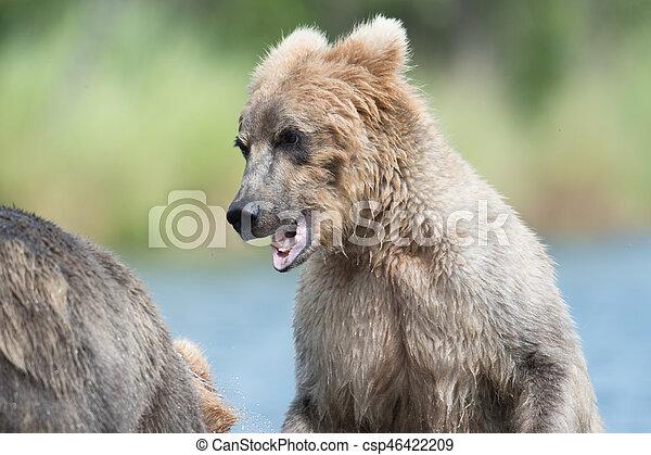 Two Alaskan brown bears playing - csp46422209