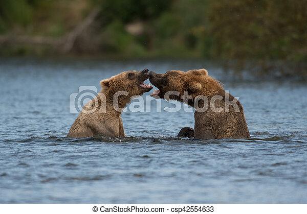 Two Alaskan brown bears playing - csp42554633