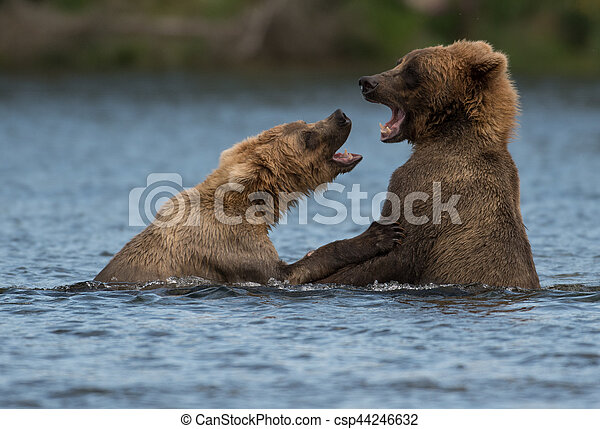 Two Alaskan brown bears playing - csp44246632