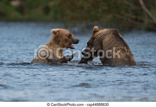 Two Alaskan brown bears playing - csp44888630