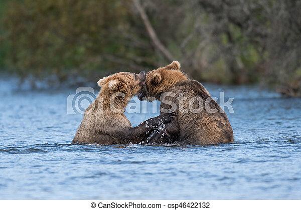Two Alaskan brown bears playing - csp46422132
