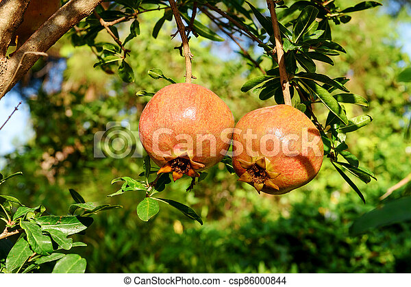 Two almost ripe pomegranate fruits hanging on a tree. - csp86000844