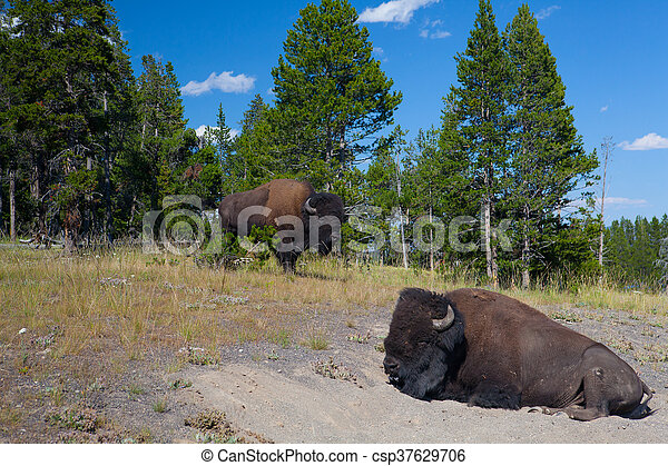 Two American Bison in Yellowstone National Park - csp37629706