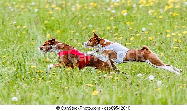 Two basenji dogs in red and white shirts running in the field on lure coursing competition - csp89542640