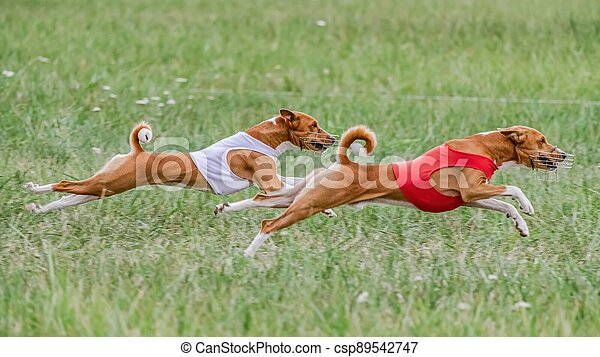 Two basenji dogs in red and white shirts running in the field on lure coursing competition - csp89542747