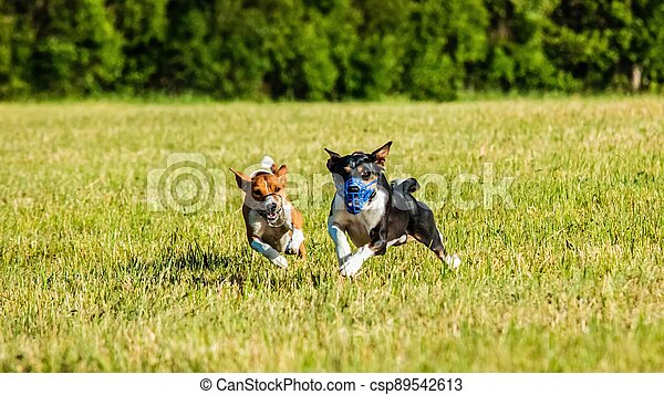 Two basenji dogs running in the field on lure coursing competition - csp89542613