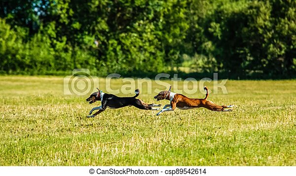 Two basenji dogs running in the field on lure coursing competition - csp89542614