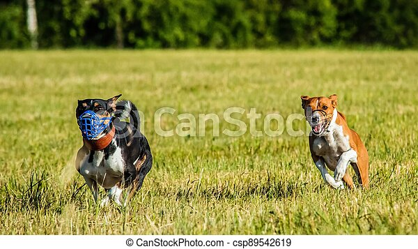 Two basenji dogs running in the field on lure coursing competition - csp89542619