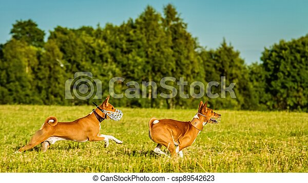 Two basenji dogs running in the field on lure coursing competition - csp89542623
