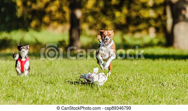 Two basenjis running in the field on lure coursing competition - csp89346799