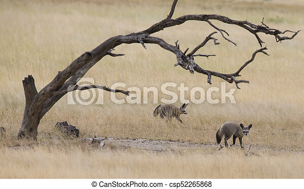 Two bat eared foxes forage for food on grass plain of the Kalahari - csp52265868