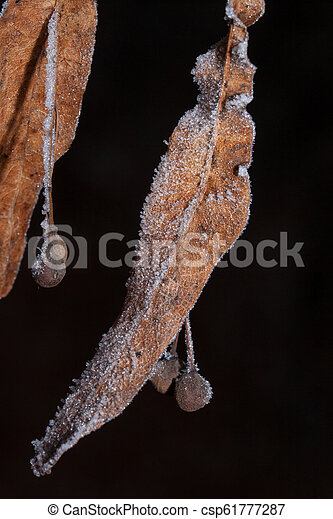 Two beautiful autumn leaves covered with hoarfrost. Close up. - csp61777287