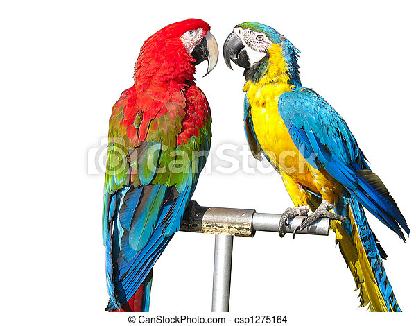 two beautiful bright colored macaws parrots isolated over white background - csp1275164