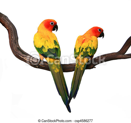 Two Beautiful Sun Conures on a Branch - csp4586277