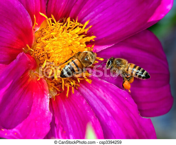 Two bees looking for pollen and nectar on a yellow and purple flower - csp3394259