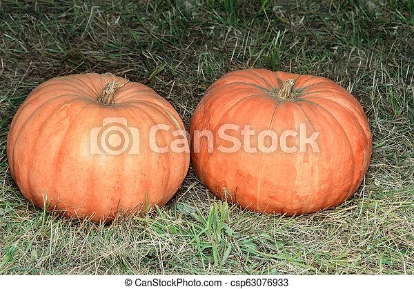 Two big pumpkins on the green grass. - csp63076933