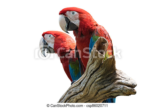 two bird Red  Macaw on a branch isolated white background - csp86020711