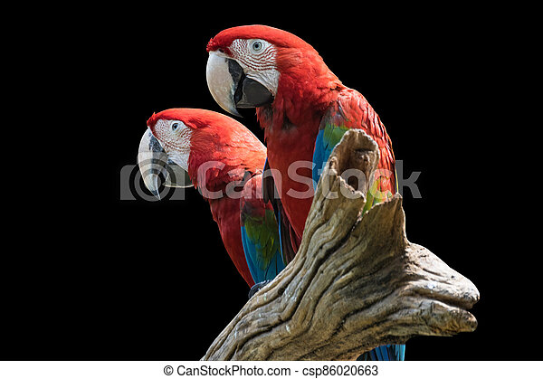 two bird Red  Macaw on a branch isolated black background - csp86020663