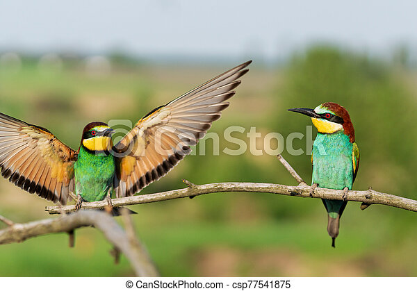 two birds flap their wings on a branch - csp77541875
