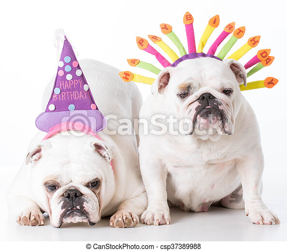 Two Birthday Dogs English Bulldogs Wearing Hats On