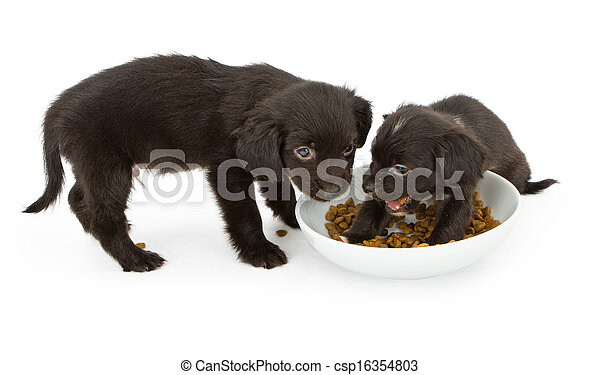 Two black puppies fighting over food - csp16354803