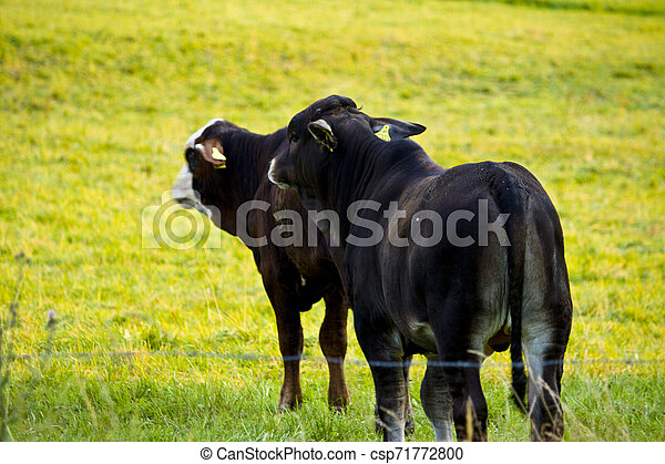 Two black young cows on a meadow in Hesse, Germany - csp71772800