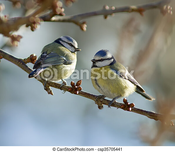 Two Blue Tits - csp35705441