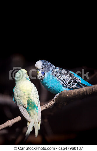 Two budgies on a branch - csp47968187