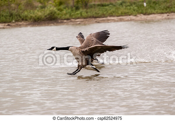 Two Canada Geese Landing on a Pond - csp62524975