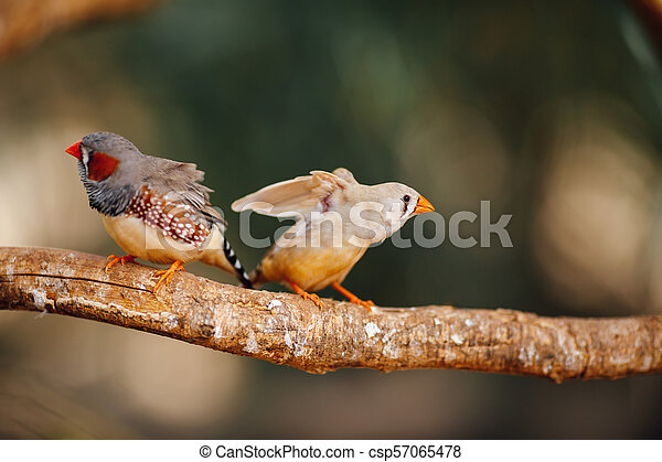 two canary birds on a branch - csp57065478