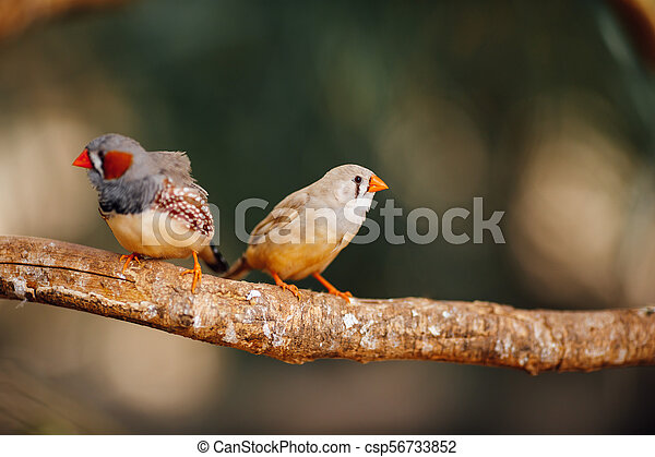 two canary birds on a branch - csp56733852