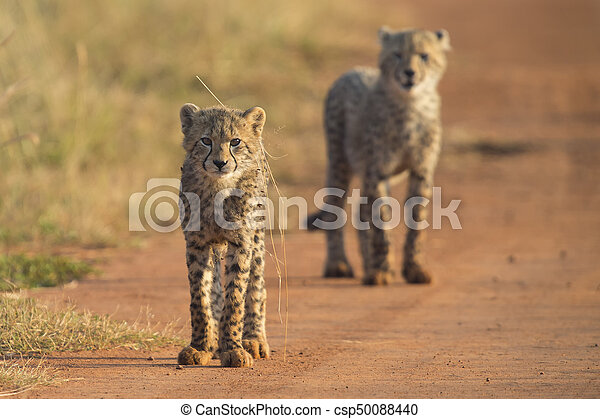 Two Cheetah cubs playing early morning in a road - csp50088440