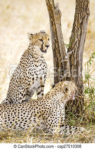 Two cheetahs rests after meal in Serengeti - csp27510308