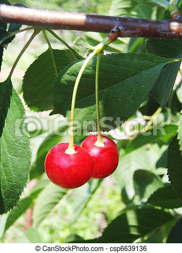Two cherries on a branch - csp6639136